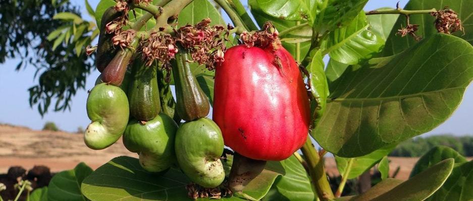 بادام هندی محصول بومی و یا مال کدام کشور است