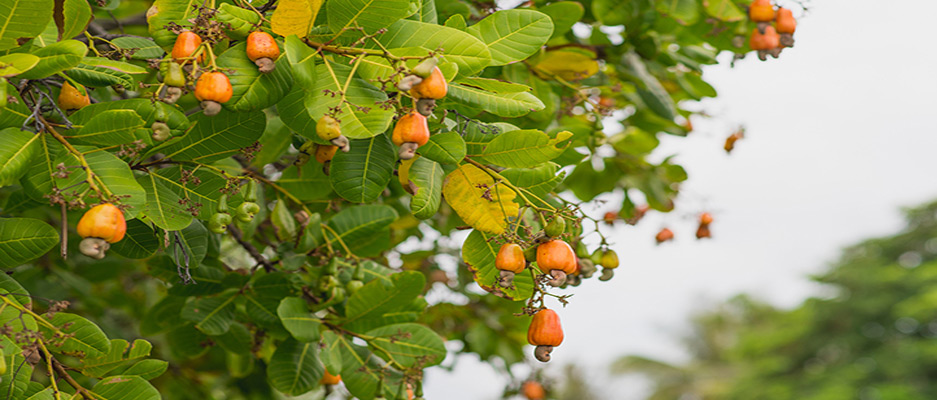 آشنایی با درخت بادام بومی و یا مال کدام کشور است